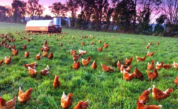 Beyaz Piramit Konya'da tavuk dışkılarını elektriğe çevirecek