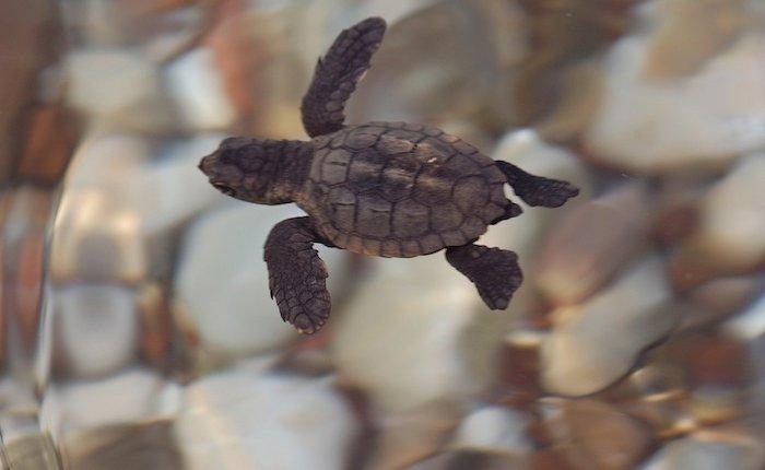 Dünya Deniz Kaplumbağaları Günü'nde kömür tehdidi