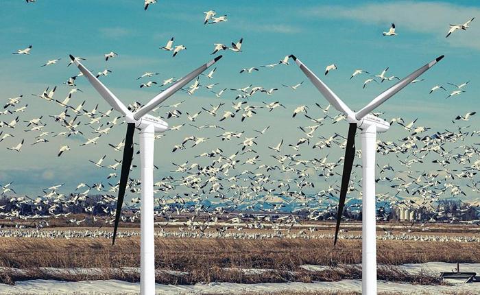 Kuş ölümlerini azaltmak için türbin kanatları siyaha boyanıyor