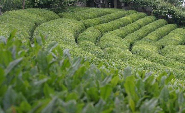 Rize'nin çay atıkları biyokömür ve elektriğe dönüşecek