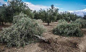 Kolin Yırca yerine zeytinlik olmayan saha arıyor