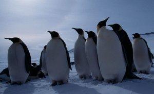 Enerji işine vahşi penguenler lazım