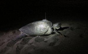 Yeşil deniz kaplumbağası uydudan izleniyor