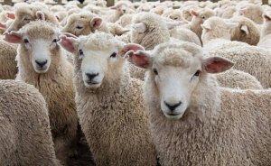 Roma parklarını koyunlar temizleyecek