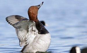 Nesli tehlike altındaki kuşların avına izin verildi!