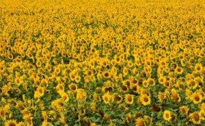 Edirne'nin ayçiçeği atıklarından elektrik üretilecek