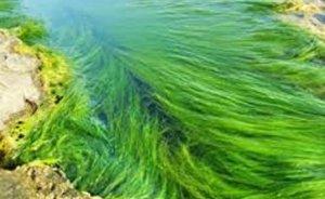 Amerika su yosununun gücünü keşfediyor